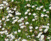 Some of the daisies at Poey de Lascar aire, A64