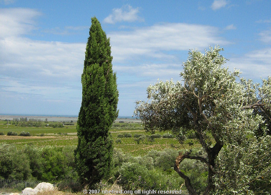 Cypress and olive trees, with vineyards and the Med. beyond.