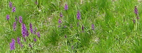 Orchids in Hautes-Pyrenees