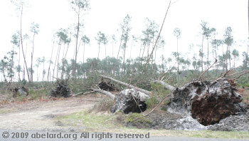 Overturned pines, poorly rooted in Les Landes sand