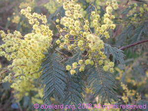 French mimosa - acacia dealbata