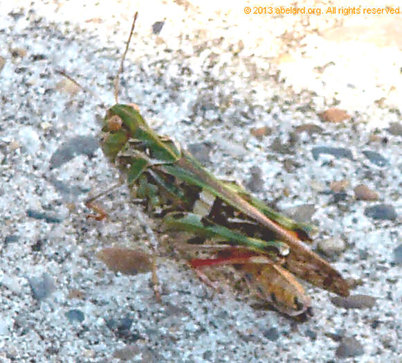 Grasshopper in fancy dress