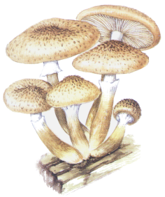 honey fungus or armillaria ostoyae