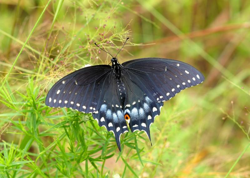 black swallowtail. Image credit: community.webshots.com
