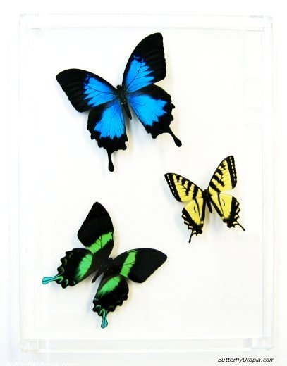 Three swallowtails. Image credit: www.butterflyutopia.com