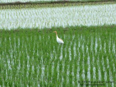 Orange and white egret in a paddy field. Image credit: the auroran sunset