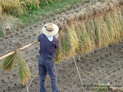 Hanging the harvested rice to dry. Image credit: the auroran sunset