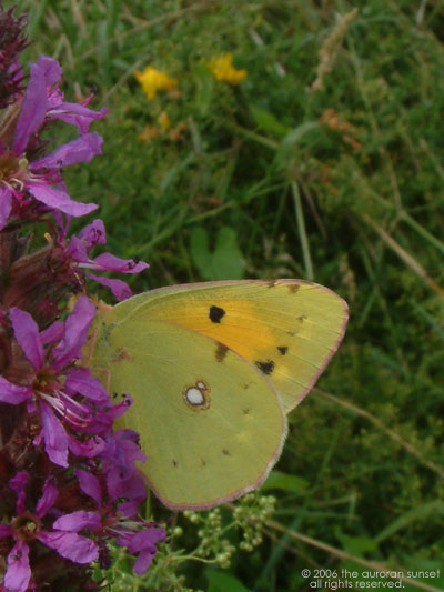 A clouded yellow butterfly on a purple flower. Image credit: the auroran sunset