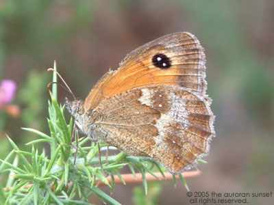 A false grayling: orange and brown with a big black 'eye'. Image credit: the auroran sunset