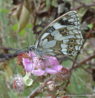 A marbled white: white and brown marbled pattern, with 'eyes'. Image credit: the auroran sunset