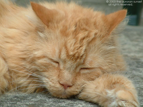 A beautiful long-haired ginger cat called Marmaduke. Image credit: the auroran sunset