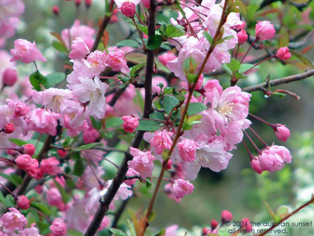 Pink cherry blossom (gantanzakura) at Senganen (Iso Gardens). Image credit: the auroran sunset