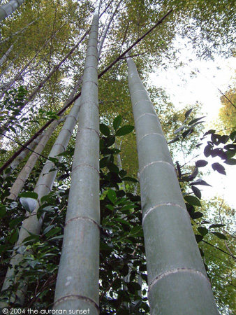 Up at a bamboo forest. Image credit: the auroran sunset