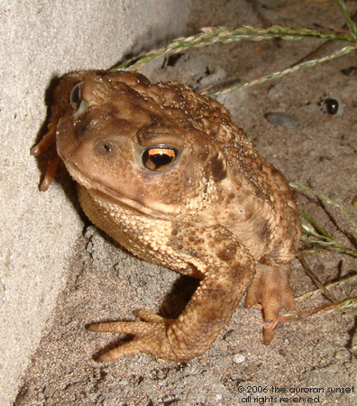 A toad sitting by a wall. Image credit: the auroran sunset