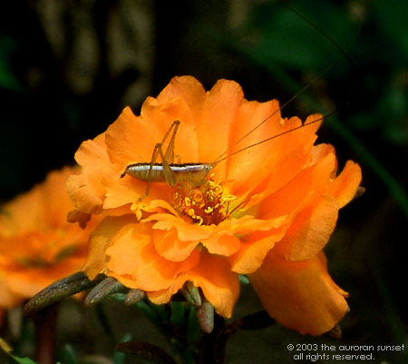 An orange flower with a long antennaed insect in residence, in residential Japan. Image credit: the auroran sunset