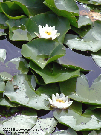 Some water lily flowers on a French river. Image credit: the auroran sunset