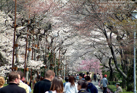 Avenue of cherry trees blooming in a Kyoto temple. Image credit: the auroran sunset
