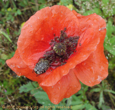 A bug's dining room, in a poppy.